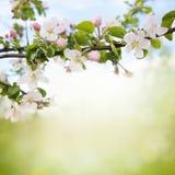 Κλάδος των ανθών μήλων Στοκ Εικόνα
