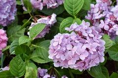 Κλάδος των ιωδών λουλουδιών με τα πράσινα φύλλα Στοκ Εικόνες