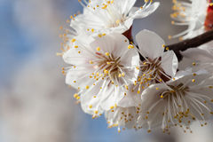 Κλάδος των λουλουδιών κερασιών Στοκ Εικόνες