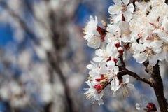 Κλάδος των λουλουδιών κερασιών Στοκ Φωτογραφίες