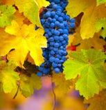 Κλάδος των σταφυλιών κρασιού Στοκ Εικόνες