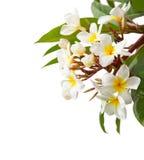 Κλάδος των τροπικών άσπρων λουλουδιών Plumeria που απομονώνεται στο άσπρο υπόβαθρο Στοκ φωτογραφία με δικαίωμα ελεύθερης χρήσης