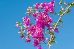 Κλάδος των όμορφων λουλουδιών bougainvillea στο υπόβαθρο μπλε ουρανού Στοκ φωτογραφία με δικαίωμα ελεύθερης χρήσης