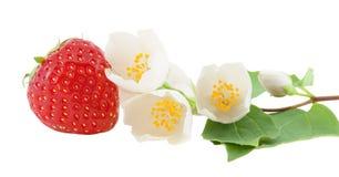 Κλάδος φραουλών και jasmine. Στοκ Φωτογραφία
