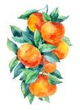 Κλάδος φρούτων μανταρινιών Watercolor με τα φύλλα που απομονώνονται στο λευκό Στοκ Φωτογραφίες