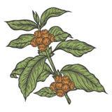 Κλάδος φυτών καφέ με το φύλλο, μούρο, φασόλι καφέ, φρούτα, σπόρος Φυσική οργανική καφεΐνη απεικόνιση αποθεμάτων