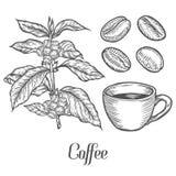 Κλάδος φυτών καφέ με το φύλλο, μούρο, φασόλι καφέ, φλυτζάνι, σπόρος Φυσική οργανική καφεΐνη απεικόνιση αποθεμάτων