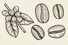 Κλάδος φυτών καφέ με το φύλλο Στοκ Φωτογραφία