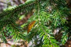Κλάδος φύλλων και fir-tree Στοκ εικόνα με δικαίωμα ελεύθερης χρήσης