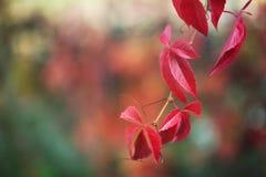 Κλάδος φύλλων φθινοπώρου Στοκ Εικόνες