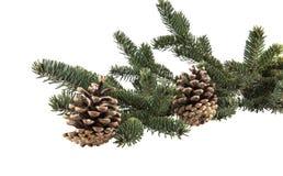 Κλάδος χριστουγεννιάτικων δέντρων με τους κώνους πεύκων Στοκ Φωτογραφίες