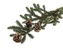 Κλάδος χριστουγεννιάτικων δέντρων με τους κώνους πεύκων Στοκ Εικόνα