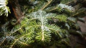 Κλάδος Χριστούγεννο-δέντρων Στοκ εικόνα με δικαίωμα ελεύθερης χρήσης
