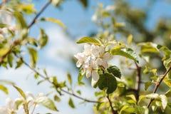 Κλάδος Apple-δέντρων ανθών την άνοιξη Στοκ φωτογραφία με δικαίωμα ελεύθερης χρήσης