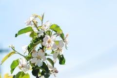 Κλάδος Apple-δέντρων ανθών την άνοιξη Στοκ Φωτογραφίες