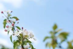 Κλάδος Apple-δέντρων ανθών την άνοιξη Στοκ εικόνες με δικαίωμα ελεύθερης χρήσης