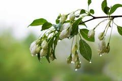 Κλάδος Apple-δέντρων με τα άσπρα λουλούδια με τις πτώσεις νερού μετά από μια βροχή Στοκ φωτογραφίες με δικαίωμα ελεύθερης χρήσης