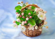 Κλάδος Apple-δέντρων με τα ευγενείς ανοικτό ροζ λουλούδια, τους οφθαλμούς και την άδεια Στοκ Εικόνες