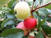 Κλάδος Apple-δέντρων με τα φύλλα στη φύση Στοκ φωτογραφίες με δικαίωμα ελεύθερης χρήσης