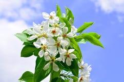 Κλάδος Apple-δέντρων στα άνθη λουλουδιών την άνοιξη στα πλαίσια των σύννεφων και του μπλε ουρανού Στοκ Φωτογραφία