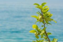 Κλάδος Appletree με τα πράσινα φρέσκα μήλα Στοκ φωτογραφίες με δικαίωμα ελεύθερης χρήσης