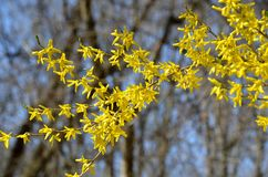 Κλάδος Forsythia με τις κίτρινες ανθίσεις Στοκ εικόνες με δικαίωμα ελεύθερης χρήσης