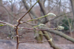 Κλάδος Magnolia που βλαστάνει την άνοιξη Στοκ Εικόνες
