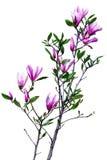 Κλάδος Magnolia Στοκ Φωτογραφίες