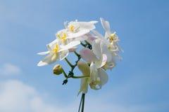 Κλάδος Omantic της άσπρης ορχιδέας Στοκ Εικόνα