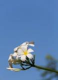 Κλάδος Plumeria στο μπλε ουρανό Στοκ φωτογραφία με δικαίωμα ελεύθερης χρήσης