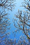 Κλάδος Plumeria Στοκ Φωτογραφία