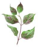 Κλάδος Watercolor του δέντρου με τα πράσινα ιώδη γραφικά φύλλα Στοκ Εικόνες