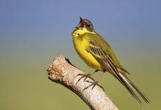 Κλήση πουλιών Wagtail Στοκ φωτογραφίες με δικαίωμα ελεύθερης χρήσης