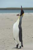 Κλήση Penguin βασιλιάδων Στοκ Εικόνες