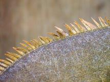Κλίμακες και σπονδυλικές στήλες από πράσινο Iguana (iguana Iguana) Στοκ εικόνα με δικαίωμα ελεύθερης χρήσης