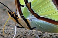 Κλίμακες πεταλούδων Στοκ φωτογραφία με δικαίωμα ελεύθερης χρήσης
