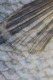 Κλίμακες των ψαριών γλυκού νερού Στοκ φωτογραφία με δικαίωμα ελεύθερης χρήσης