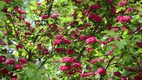 Κλίση επάνω των όμορφων ανθίσεων δέντρων κραταίγου (laevigata crataegus) φιλμ μικρού μήκους