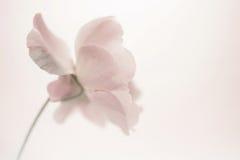 Κλασικά τριαντάφυλλα στο μαλακό ύφος χρώματος Στοκ εικόνες με δικαίωμα ελεύθερης χρήσης