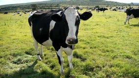 Κλασική γραπτή αγελάδα απόθεμα βίντεο