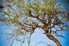 Κλασικό δέντρο Στοκ Φωτογραφίες
