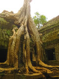 Κλασσική εικόνα του ναού TA Prohm, Angkor, Καμπότζη Στοκ Εικόνα