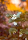 Κλαδάκι με τους καρπούς snowberry Στοκ Εικόνες