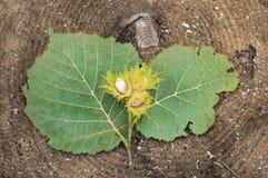 Κλαδάκι με το καρύδι φουντουκιών για να βρεθεί στο δέντρο περικοπών Στοκ Εικόνες