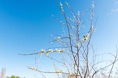 Κλαδάκι της ανθίζοντας ιτιάς ενάντια στο μπλε ουρανό την άνοιξη για Πάσχα Στοκ Εικόνες