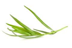 Κλαδάκι του τραχουριού που απομονώνεται σε ένα άσπρο υπόβαθρο Artemisia dracunculus Στοκ Φωτογραφίες