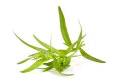 Κλαδάκι του τραχουριού σε ένα άσπρο υπόβαθρο Artemisia dracunculus Στοκ εικόνα με δικαίωμα ελεύθερης χρήσης