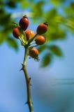 Κλαδάκι των κόκκινων μούρων κραταίγου Στοκ φωτογραφία με δικαίωμα ελεύθερης χρήσης