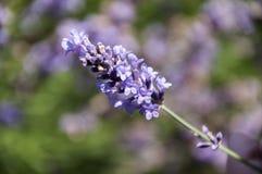Κλαδάκι lavender Στοκ φωτογραφίες με δικαίωμα ελεύθερης χρήσης