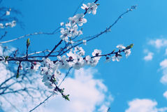 Κλαδίσκοι με τα πρώτα λουλούδια Apple-δέντρων Στοκ Φωτογραφία